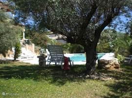 De tuin met olijfbomen en het zwembad.
