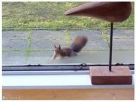 De eekhoorns, die vrijwel elke dag wel even een bezoekje brengen, als u wat stukjes oud brood of bijvoorbeeld pelpinda's voor ze neerlegt.
