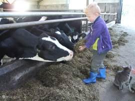 Koeien aaien op ons bedrijf!