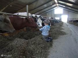 Dat vinden de koeien heel gezellig!