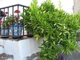 Diese Mandarinen Baum steht im Garten zwischen den Terrassen. Die Mandarine schmeckt wirklich lecker.