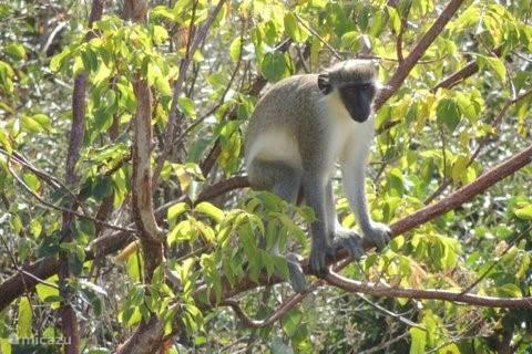 De apen zijn soms zelfs in de achtertuin