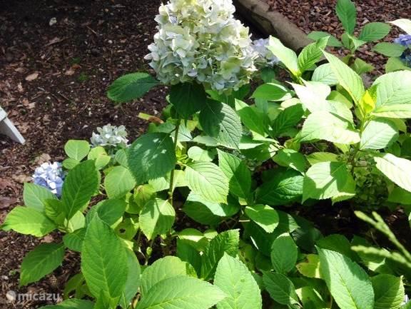 Prachtige hortensia's in de tuin...!