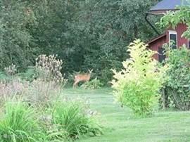 Zelfs de hertjes komen regelmatig in de tuin.