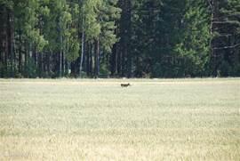 Vanuit de tuin wordt een eland gespot tegen de bosrand.