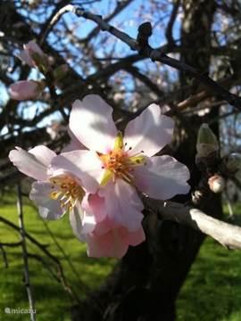 Wonderschone bloesem vroeg in het jaar. De lente begint hier al in februari.