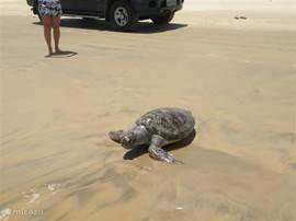 schildpadden spoelen regelmatig aan op het strand