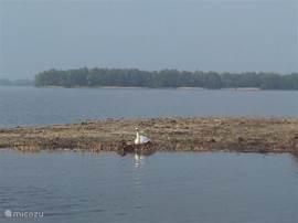 Broedende zwaan op het eilandje recht voor Strandhuis Hulst 28, Bad Hoophuizen.