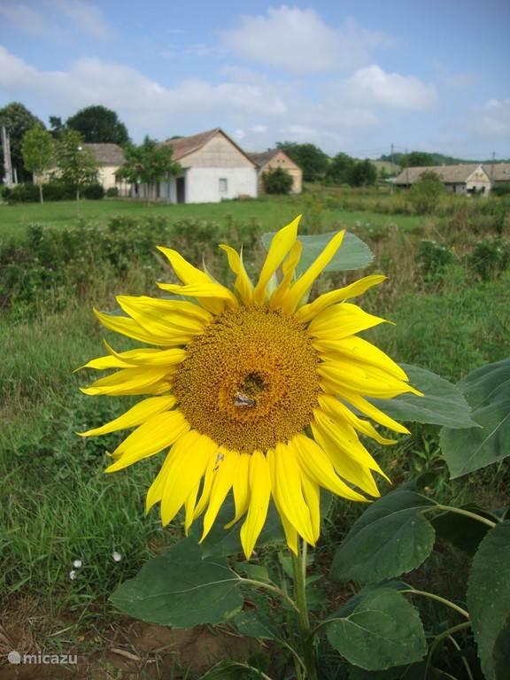 Zo stonden de zonnebloemen er eerst bij