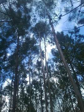 Het pijnbomenbos op het land van Casa de Cima waar veel vogelsoorten zoals de geelgroene specht graag vertoeven. Lekker om gewoon even door het bos te lopen over het zandpad en in het najaar de wilde kastanjes rapen.