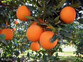 Genoeg sinaasappels in de omgeving.