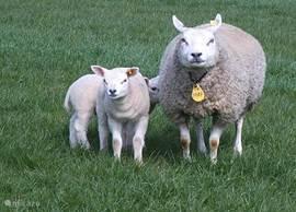 De schapen met lammetjes in het voorjaar.