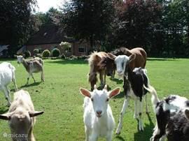 De geitjes en pony's die gevoerd mogen worden met restjes brood die u over heeft.