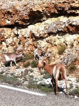 Wilde geiten langs de Gorges de l'Ardeche.