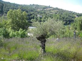 The lavender garden with olive tree and watch the river Ardeche.