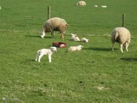 Voorjaar op Texel geboortegolf