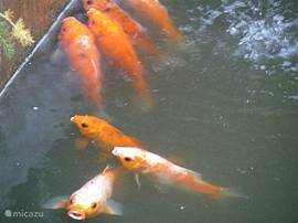 Besides gold carp we have a dozen other species of fish in our ponds