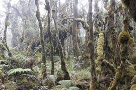 Along mossy forest-trees to the Mount Singgalang