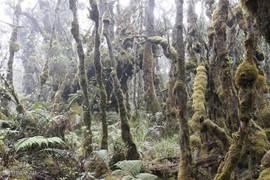 Langs bemoste oerwoud-bomen naar de Mount Singgalang