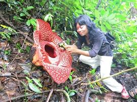 Rafflesia arnoldii, the largest flower in the world (along with Leni, your guide)