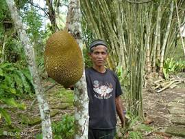 The jackfruit, Ind. jackfruit, the largest fruit in the world is growing close to the house in our garden. This fruit is indeed very good: An excellent vegetable in young state and delicious sweet and ripe fruit (as here