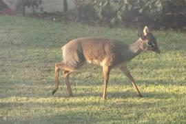 Dik-dik 's morgens in de tuin