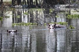 Twee van de ongeveer 1200 nijlpaarden in Lake Naivasha