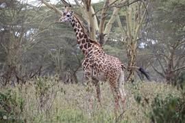 Giraffe bij Crater Lake