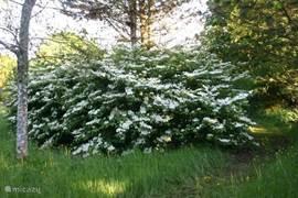 Hier de Viburnum Tomentosa inuitbundige bloei.