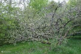 Deze appelboom was ooit omgewaaid toen wij het huis kochten maar hij is toch door gaan groeien en geeft ieder jaar heerlijke appels.