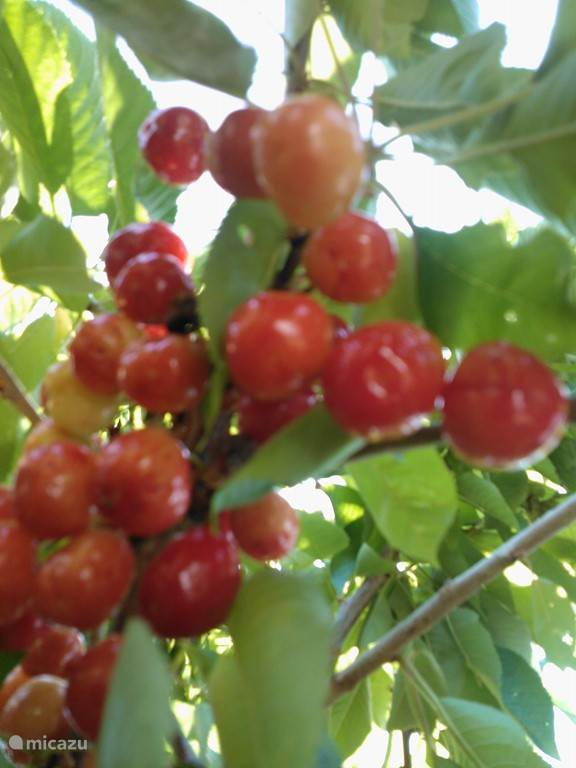 In June, the cherry time: harvest their own trees in the garden