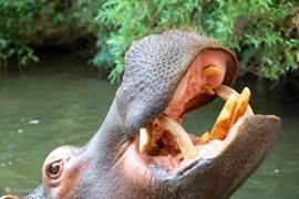 Bezoek Jessica the Hippo; de enige nijlpaard toegankelijk is voor mensen.