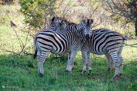 Lief he deze zebra's?