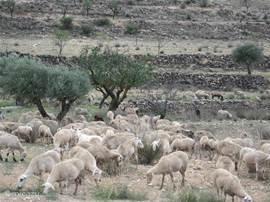 De schapen welke regelmatig over ons land trekken.