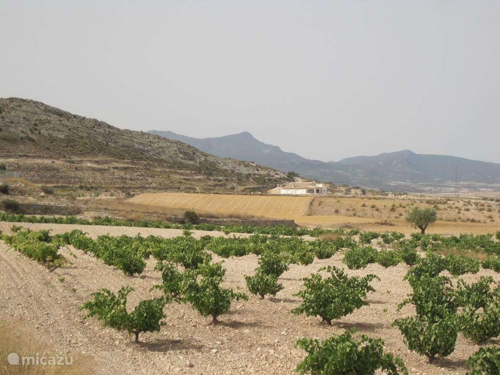Druivenveld bij de buren met Villa Blanca op de achtergrond.