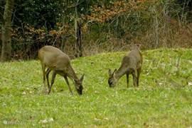 Regelmatig zijn er vanuit het huisje dieren te zien zoals deze 2 jonge reeën.