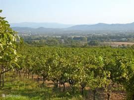 Ochtenddauw over de wijngaard