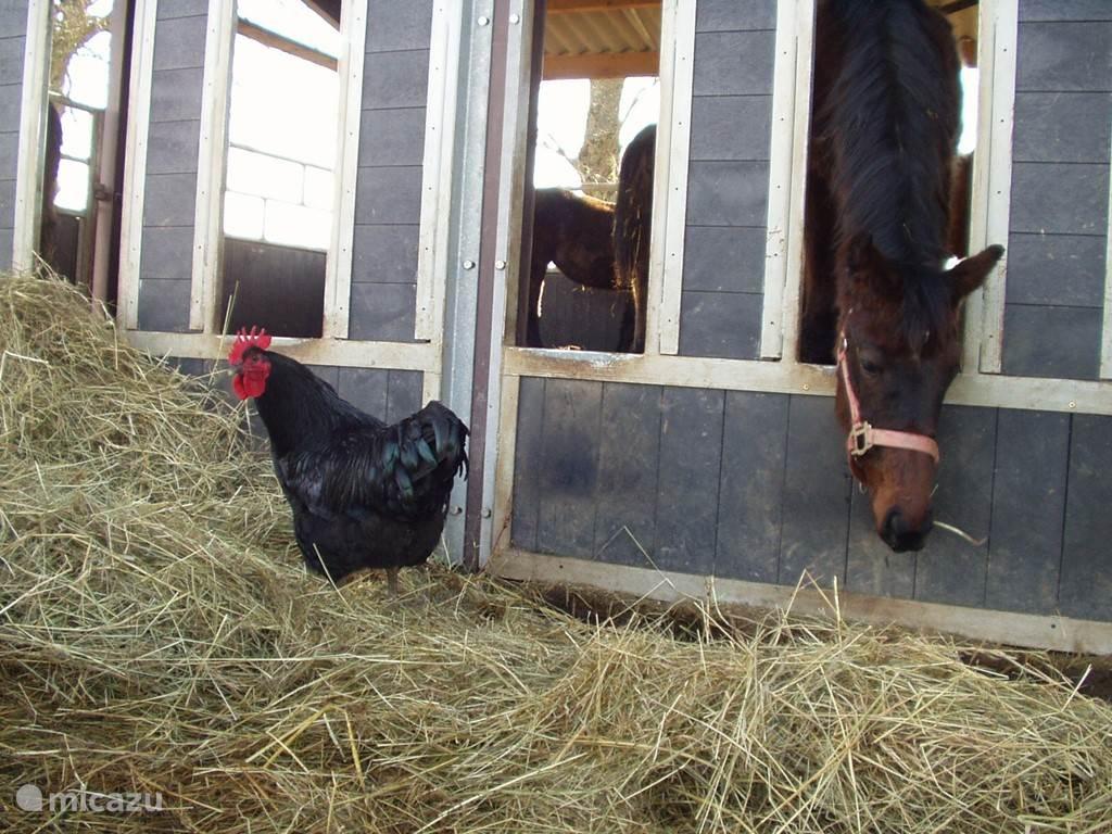 Grote haan op bezoek bij de paarden