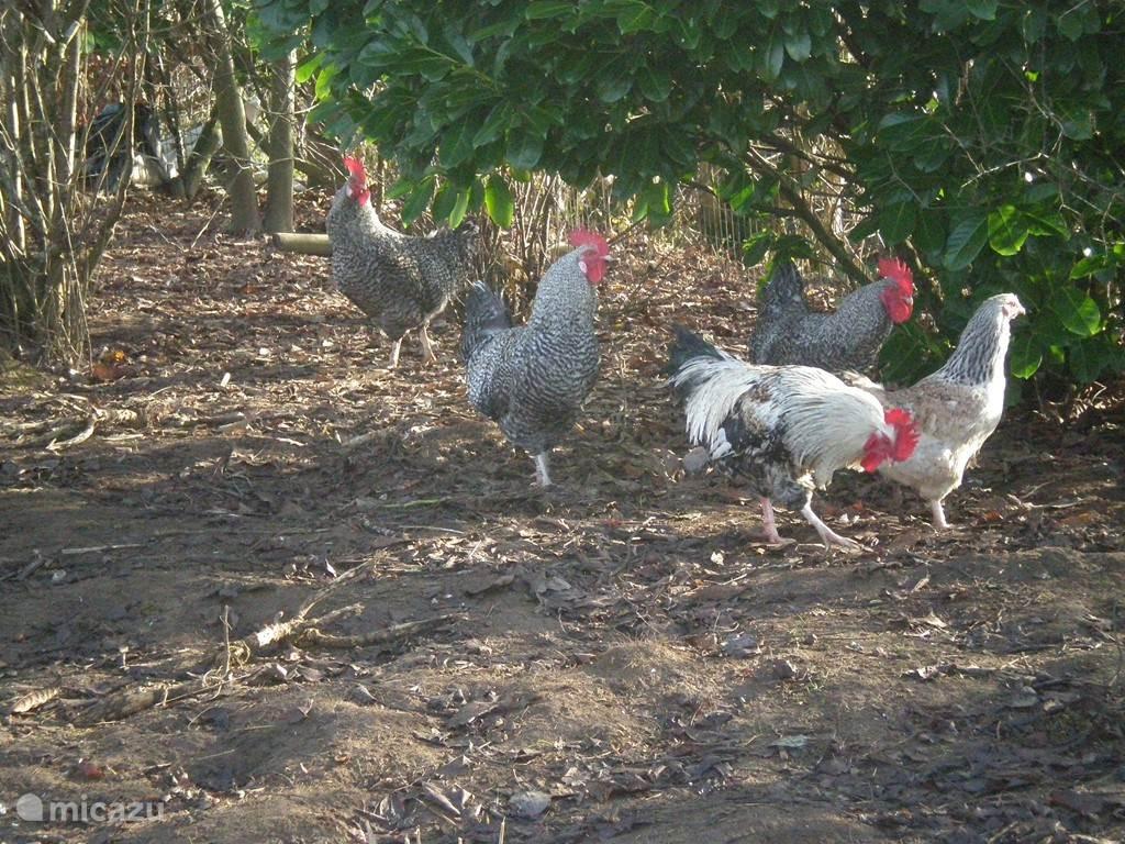 Onze kippen zorgen voor kakkel verse eieren.