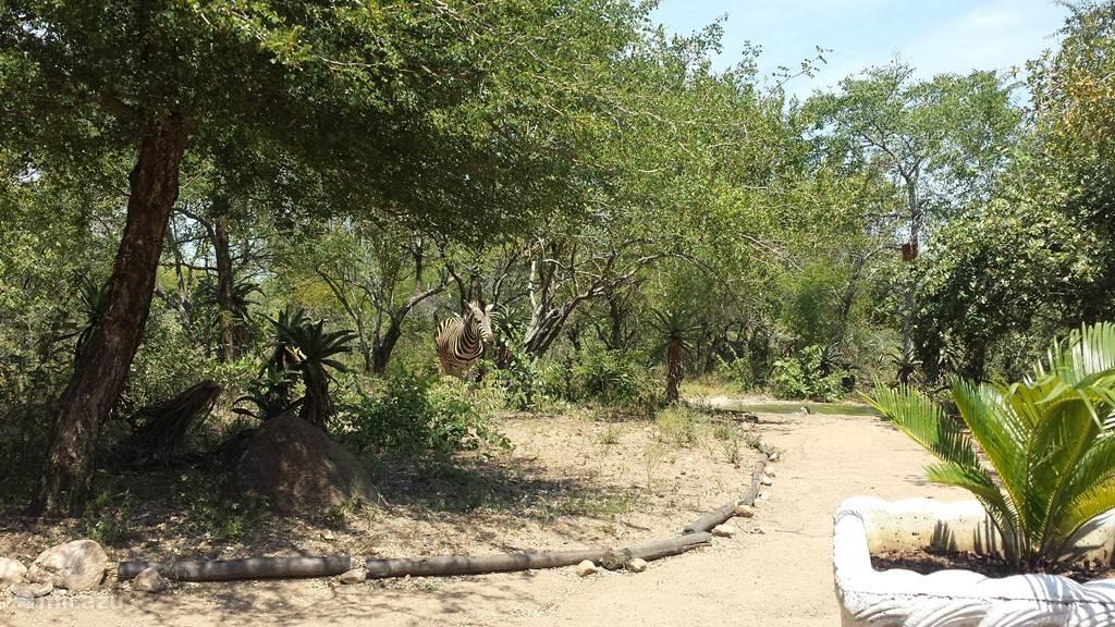 Nieuwsgierige Zebra op bezoek bij Lituba Place