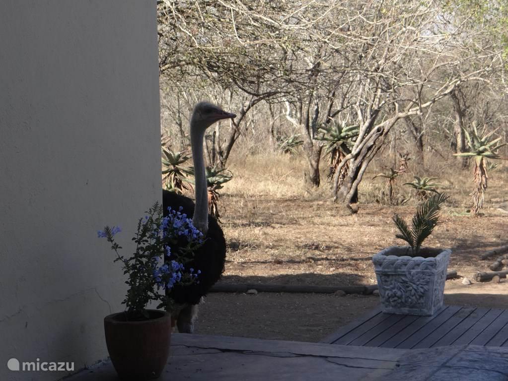 Struisvogel komt even op bezoek.