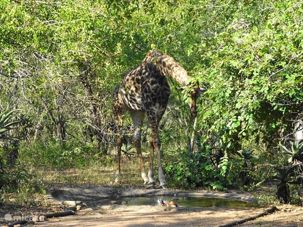Giraffe die komt drinken bij de pool van Lituba Place.  Erg indrukwekkend om te zien van dichtbij.
