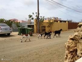 En geiten ....