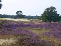 Het natuurgebied Drouwenerzand staat bekend om zijn unieke combinatie van besloten bossen, uitgestrekte heide en zandverstuiving.