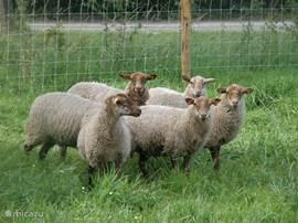 Schafe weiden im Obstgarten.