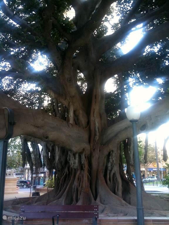Bijzondere vegetatie op 1 van de vele pleinen in het centrum van Alicante.