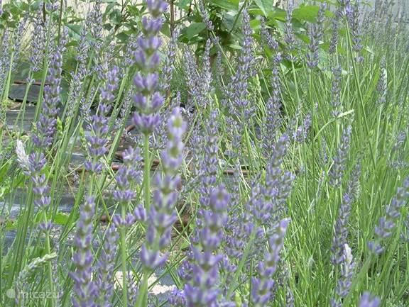 Lavendel en vlinderstruiken bloeien vlak naast Le Fenil