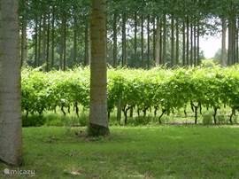 Er zijn heel veel wijngaarden in de omgeving, maar dit is de mooiste!
