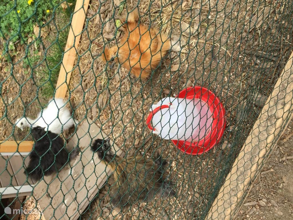 onze kippetjes zorgen voor verse eitjes.......