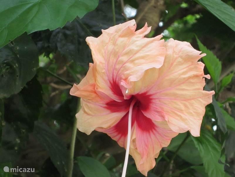 Hibiscus , de tuin is een oppervlakte van 6000 m2 .  Omgeven door allerlei tropische fruitsoorten en bloemen.
